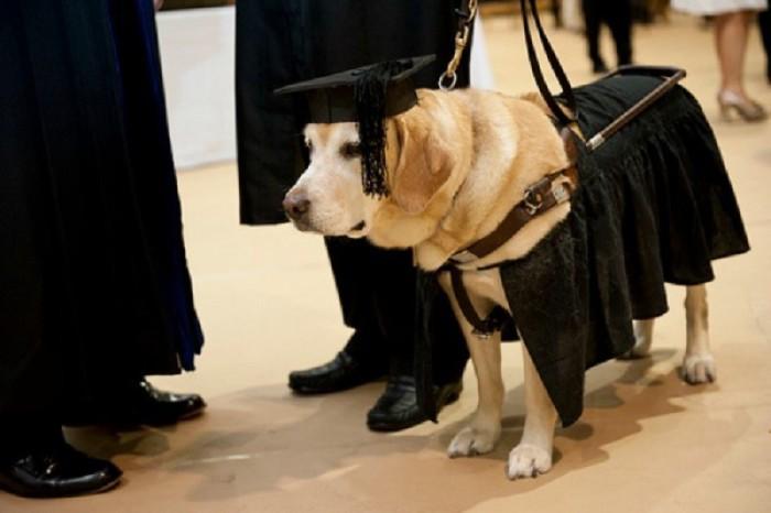 Лабрадор Кирш в мантии выпускника университета. | Фото: fishki.net.