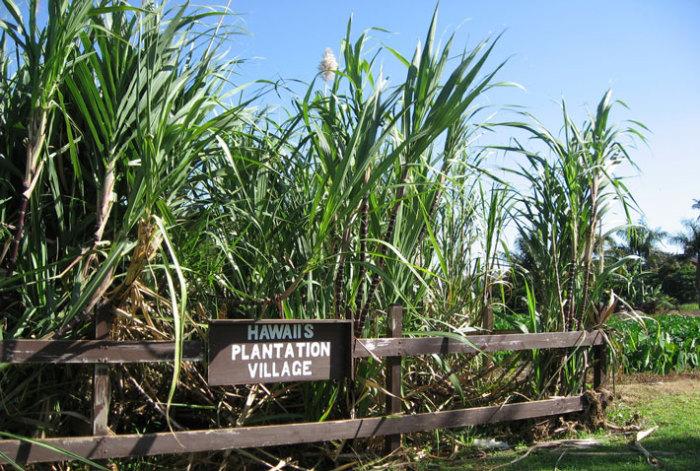 Плантация сахарного тростника на Гавайских островах.   Фото: freemarketsugar.com.