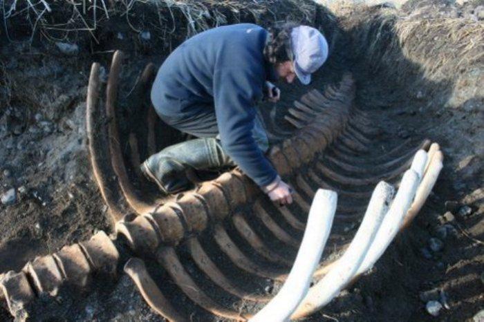 Скелет стеллеровой коровы, обнаруженный на острове вблизи Камчатки. | Фото: theworldofanimals.proboards.com.