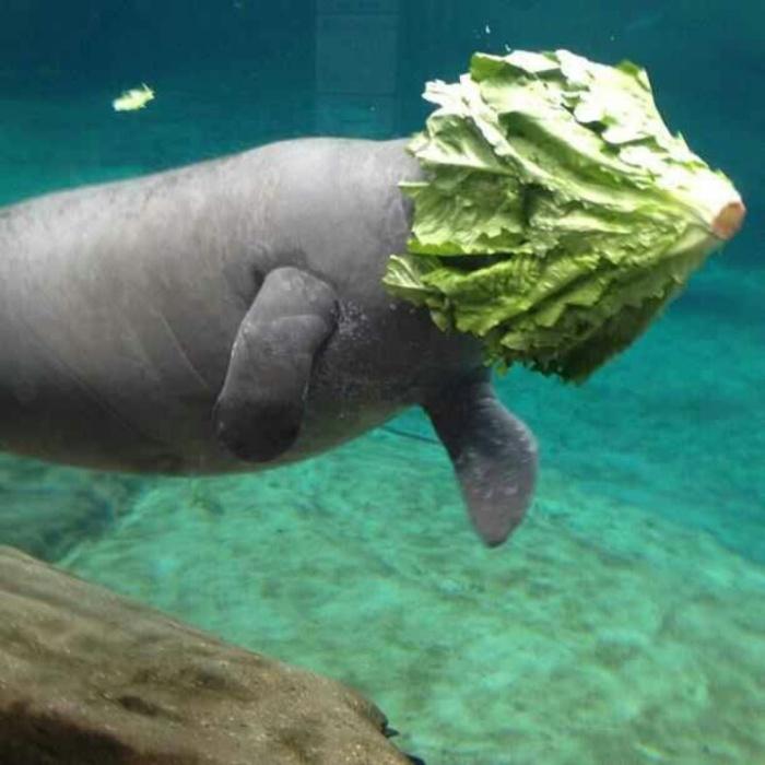 Водоросли, которые ест ламантин, под водой похожи на развевающиеся волосы. | Фото: 2048online.github.io.