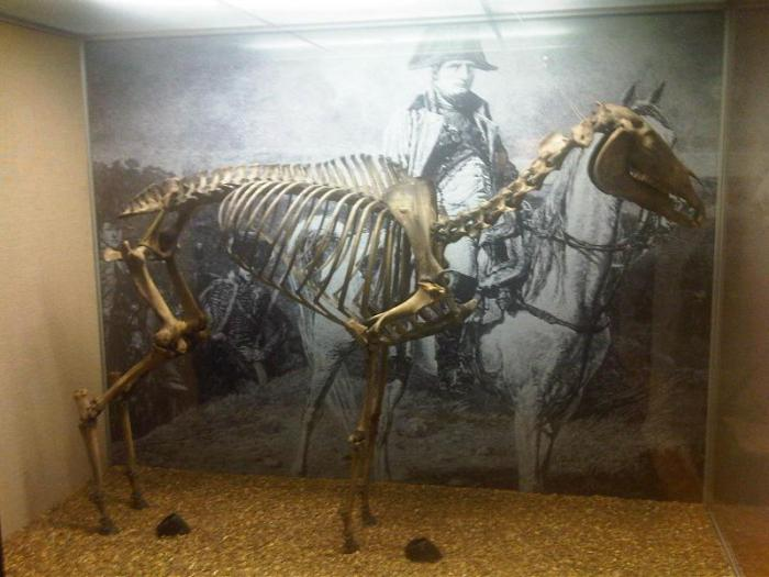 Скелет Маренго в музее Королевской военной академии в Сандхерсте. | Фото: fr.wikipedia.org.