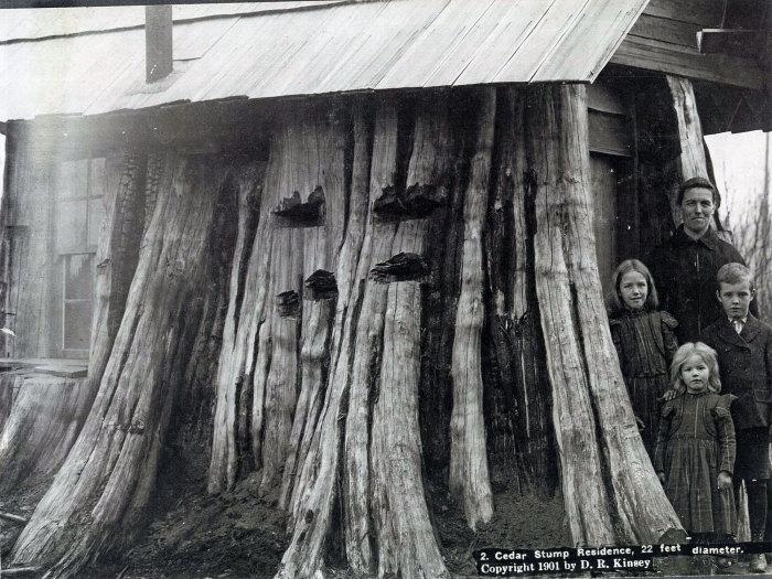 Люди выдолбили изнутри кедровый пень диаметром 6 метров и сделали себе надежное жилище. | Фото: boingboing.net.