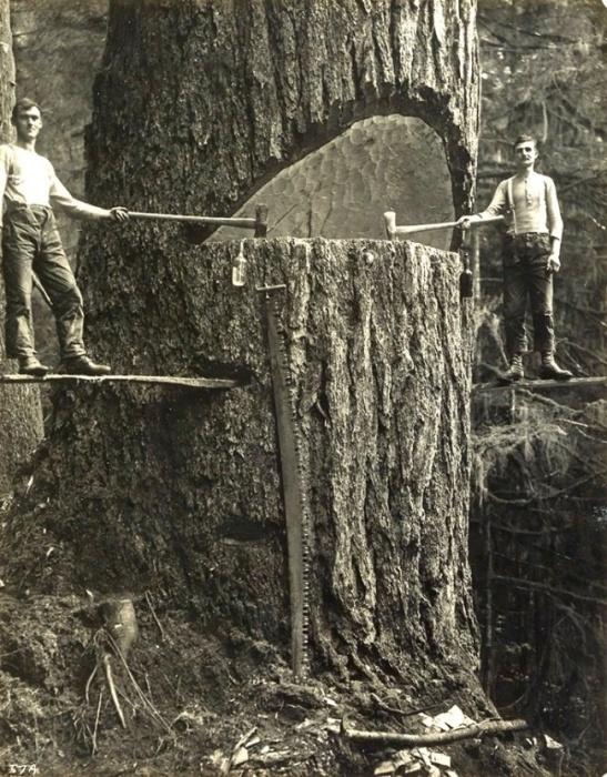 Технология спиливания громадных деревьев. | Фото: i-am-kupava.livejournal.com.