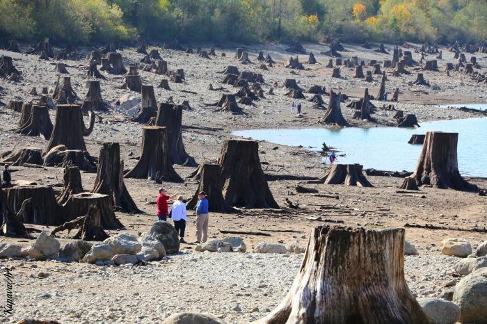Пни деревьев, срубленных больше века назад. Озеро Ратлснейк, штат Вашингтон.   Фото: i-am-kupava.livejournal.com.