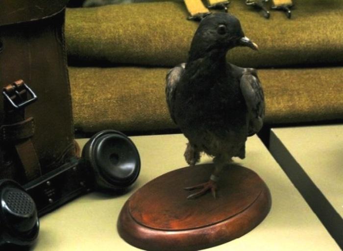 Чучело Шер Ами в Смитсоновском музее, США. | Фото: atlasprirodirossii.ru.