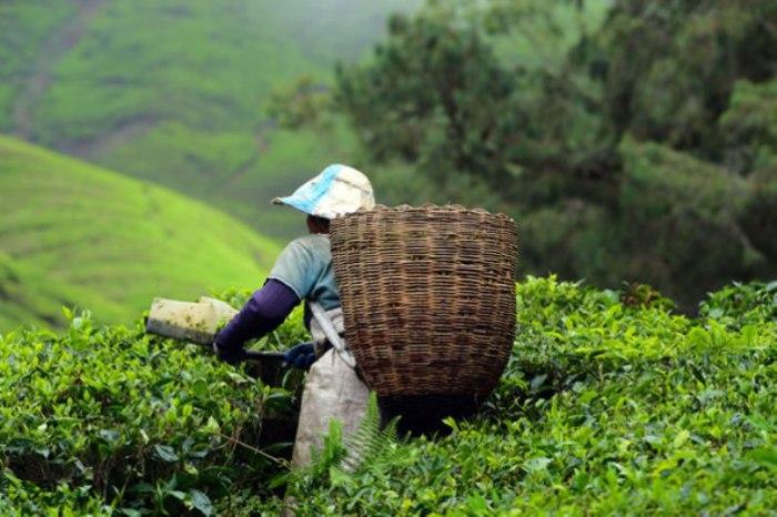 Сборщик листьев чая в Китае. | Фото: dwyfor.com.