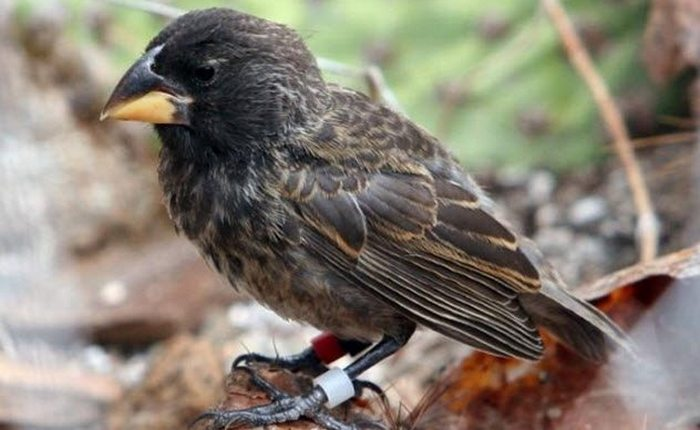 Новый вид птиц острова Дафне Майор.