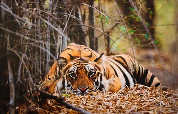 Тигры были объявлены врагами народа и почти искоренены.