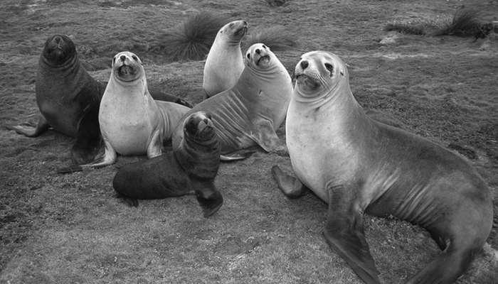 Морские львы./Фото: zooclub.ru