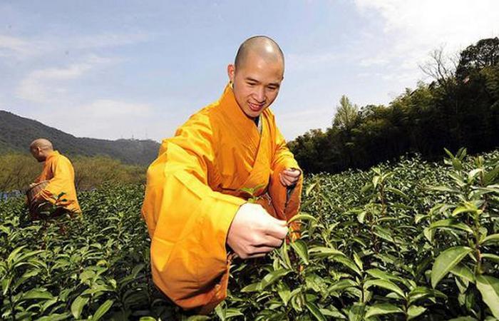 Странное происхождение чайных кустарников.