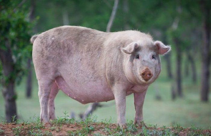 Осадная тактика: «Огненная свинья».