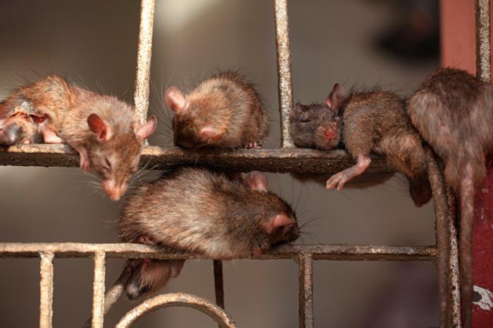 Крысы здесь просто везде. / Фото: www.hellotraveler.ru