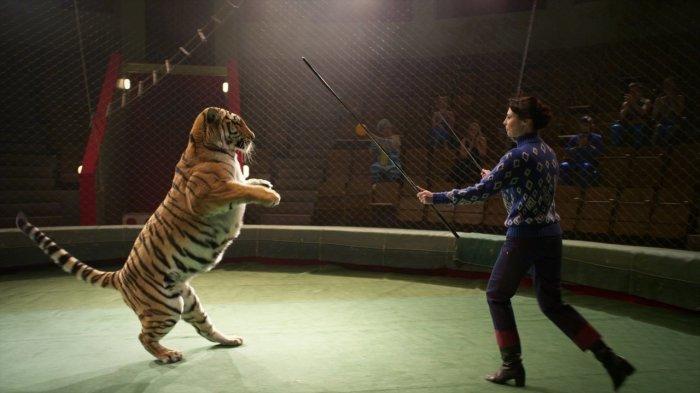 Тигр стоит на задних лапах во время трюка. Кадр из сериала «Маргарита Назарова». / Фото: www.1tv.ru