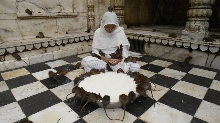 В Карни Мата крысы хозяева и предмет поклонения. / Фото: www.squarespace.com