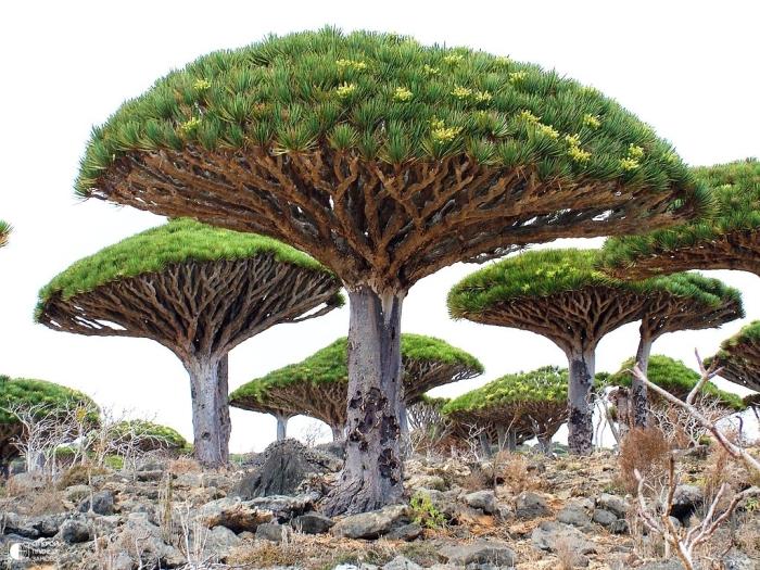 Драцена киноварно-красная, остров Сокотра, Йемен. / Фото: www.kudatotam.ru