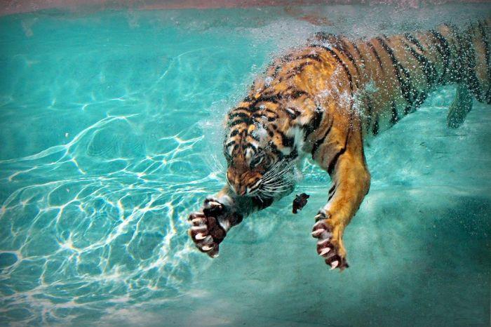 Тигр под водой. / Фото: www.staticflickr.com