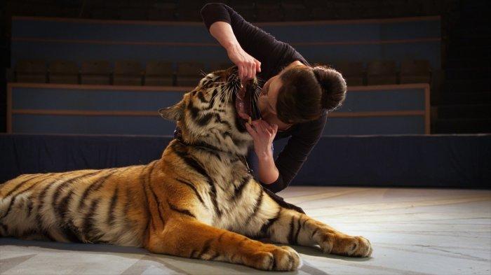 Ольга Погодина кладет голову в пасть тигра. / Фото: www.1tv.ru