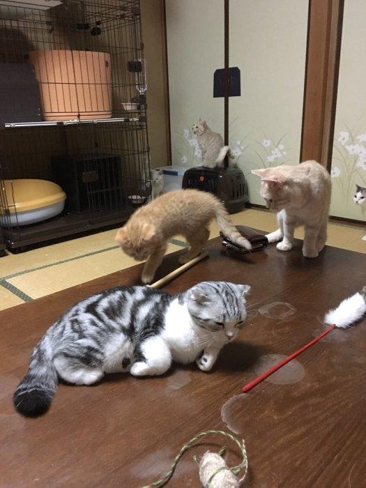Именно здесь можно выбрать кота в аренду. / Фото: www.twitter.com/mituyasann