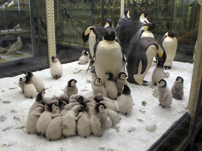 Императорские пингвины.  / Фото: www.zin.ru