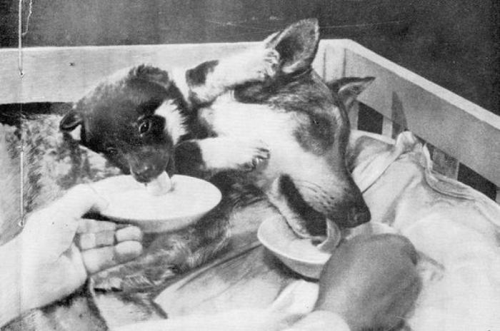 Двухголовая собака Демихова. /Фото: i.pinimg.com