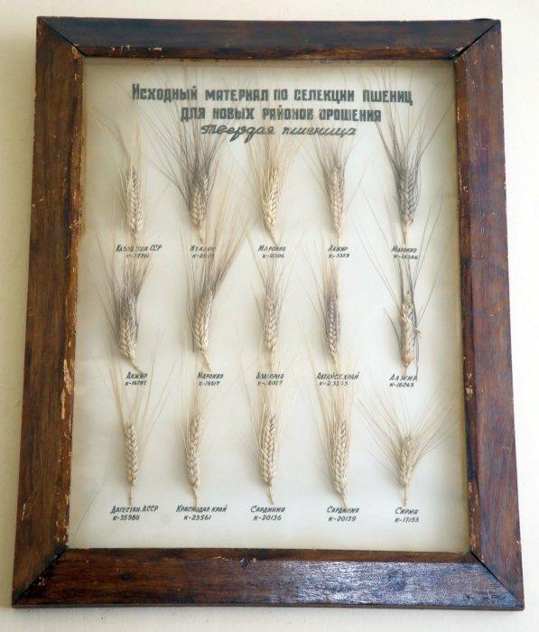 Образцы пшеницы из Вавиловской коллекции. /Фото: cdnimg.rg.ru