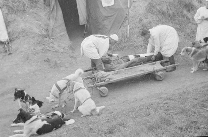 Транспортировка раненых в собачей упряжке./Фото: i1.wp.com
