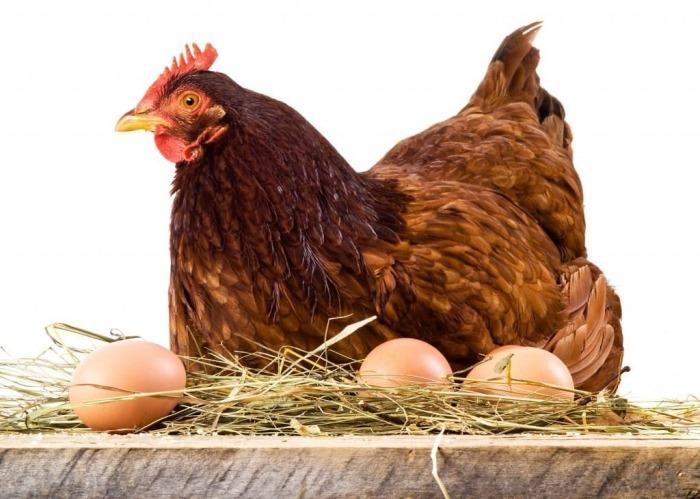 Яйцо, подложенное под курицу, предварительно заговаривали. /Фото: pro-kyr.ru