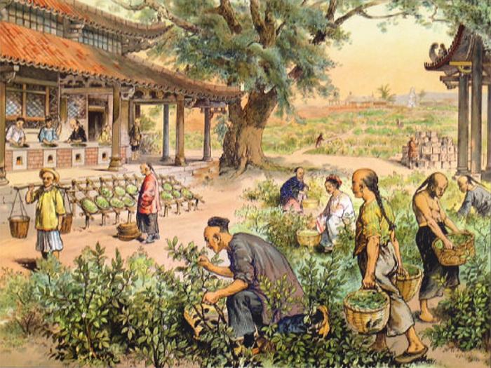 Чай в Россию привезли из Китая, где были огромные плантации этого растения. /Фото: pekinoff.ru
