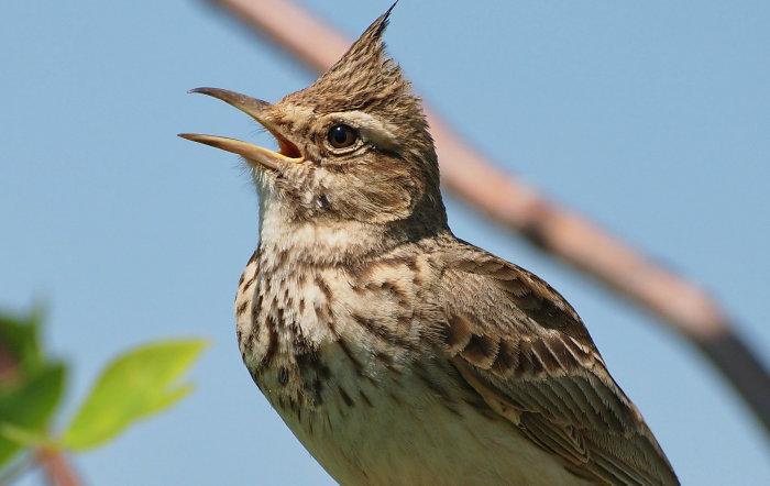 Жаворонок – ранняя пташка./Фото: sch2.by