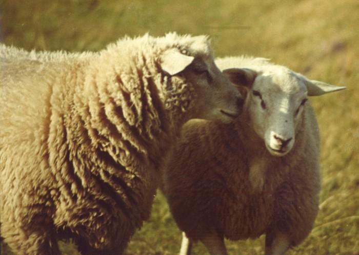 Шерсть овец - отличное сырье для хорошего сюртука, а ещё хороший повод для спора./Фото: stranger-collective.com