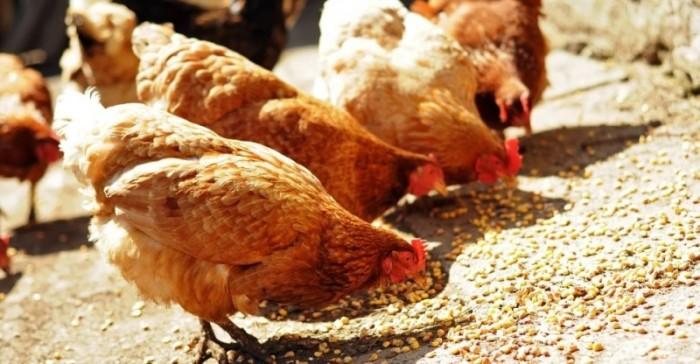 Обычные курицы вполне могли стать предметом страстного спора./Фото: kurosite.ru