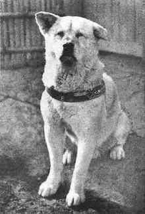 Хатико, снимок 1935 года./Фото: st-listas.20minutos.es