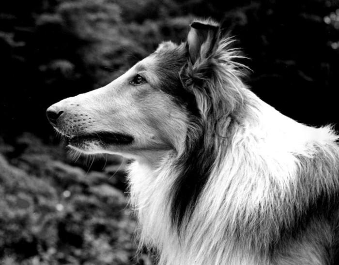 Пэл в роли Лесси./Фото: upload.wikimedia.org