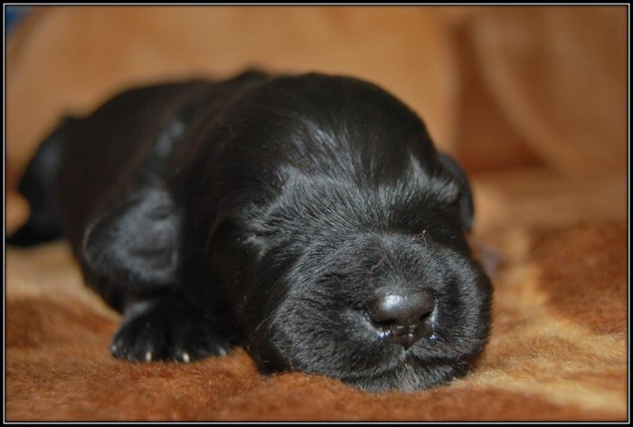 Щенок черного терьера./Фото: chrisridogs.co.za