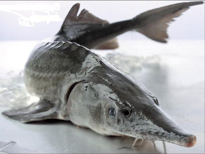 Ценный карлук изготавливали из пузыря осетровых рыб./Фото: kartinkinaden.ru