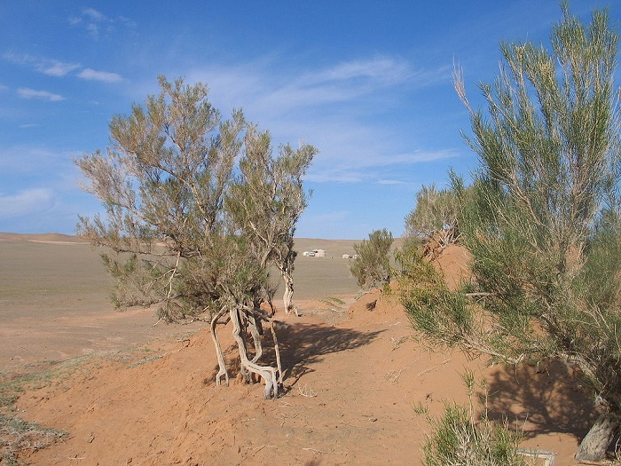 Саксуалы выносливее многих других деревьев Средней Азии и идеальны для того, чтобы остановить пустыню.