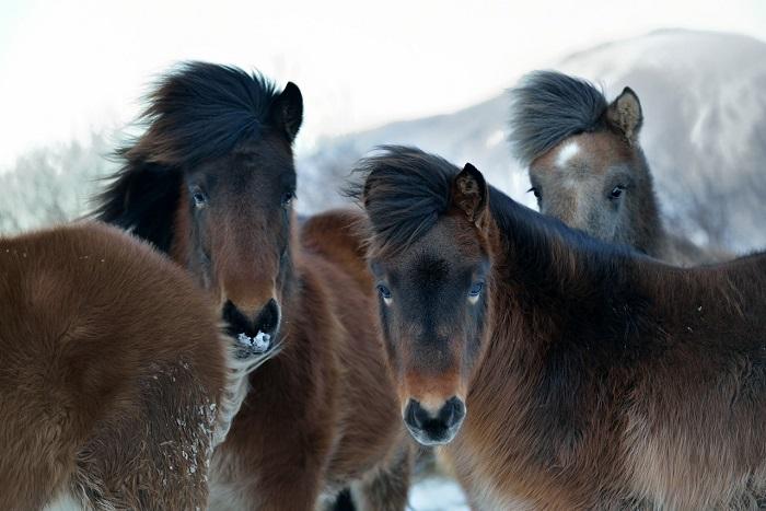 Особая порода исландских лошадей - источник шкур и мяса для исландцев.