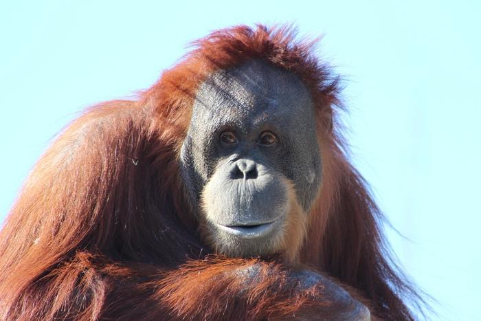 Орангутаны разговаривают жестами в природе.