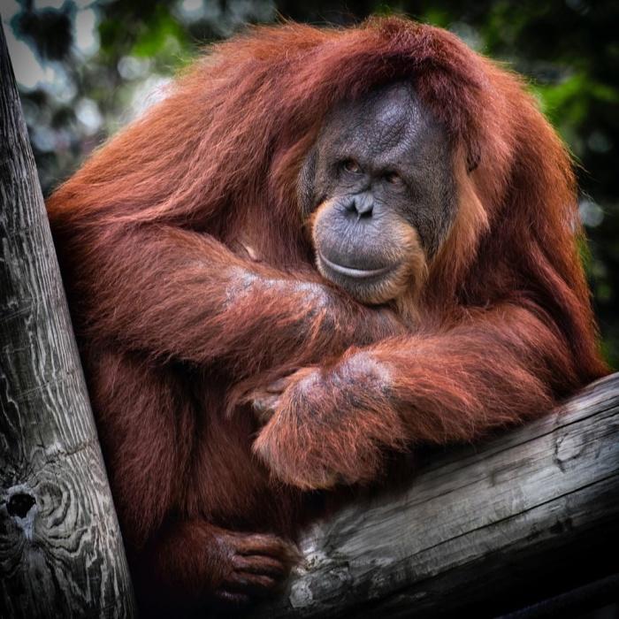 Среди обезьян, которых пытались научить устной речи, был орангутан.
