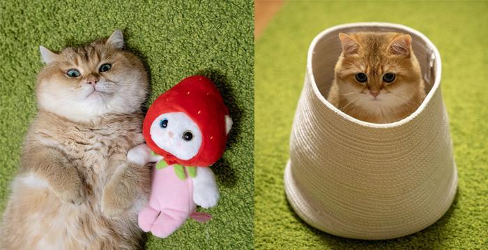 Всемирно известный кот из Москвы - Хосико.