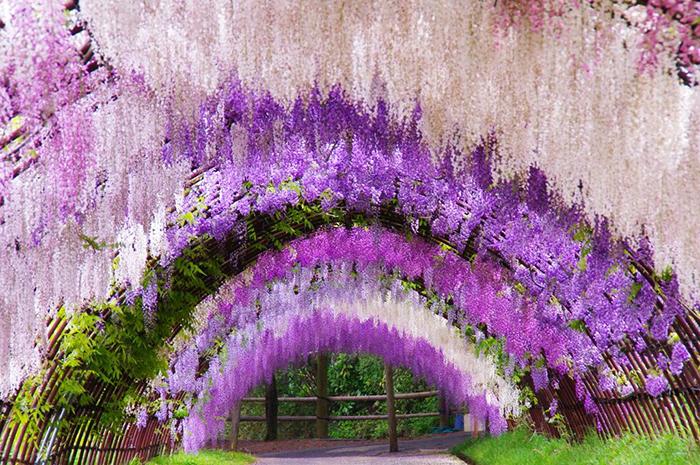 Туннель глициний в Кавати Фудзи.