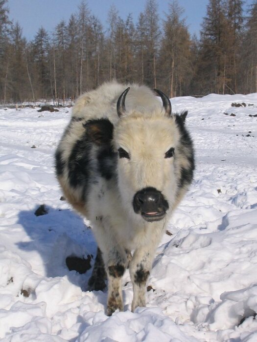 Корова прекрасно себя чувствует в сильнейшие морозы. /Фото:nat-geo.ru