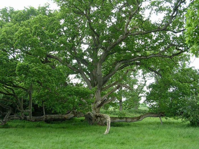 Этому дубу около тысячи лет. /Фото:tropinki.eu