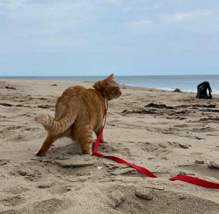 Кот гуляет по пляжу с большим удовольствием.