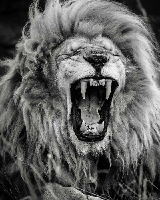 Царь зверей глазами Нидхэма.