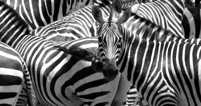 Окрас зебр также можно назвать ослепляющим камуфляжем. /Фото:masterokblog.ru