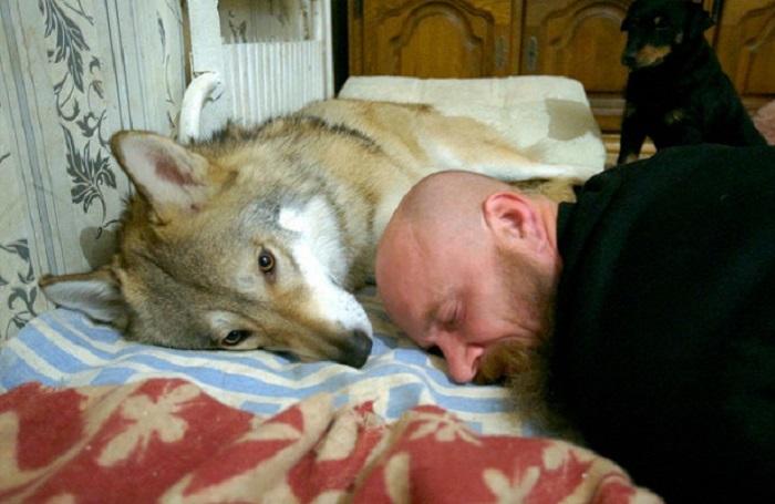 Волк, одомашненный в наши дни охотником Иваном Лебедевым. /Фото: RT