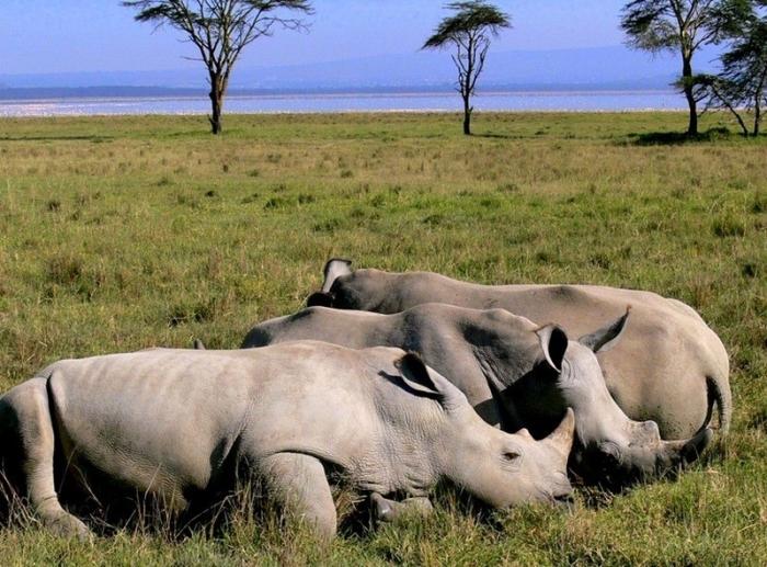 Носороги Нгоронгоро и другие животные: всемирное наследие. /Фото:fotostrana.ru
