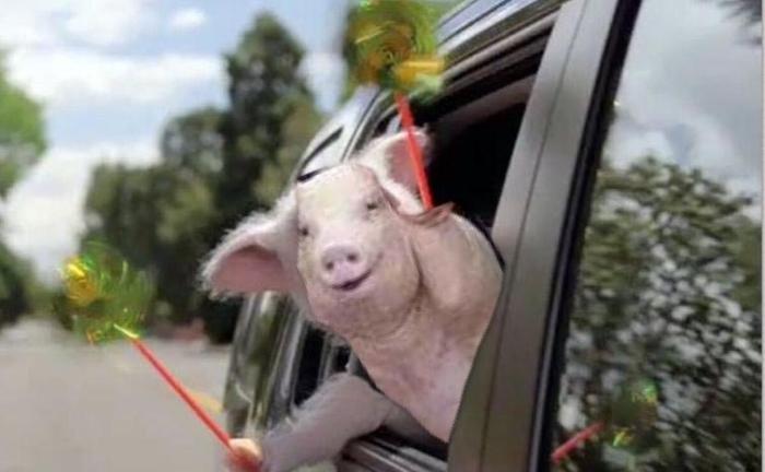 Свинья-улыбака стала интернет-мемом.