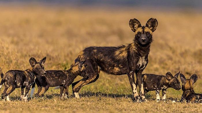 Собака похожа на гиену. /Фото:maxpark.com